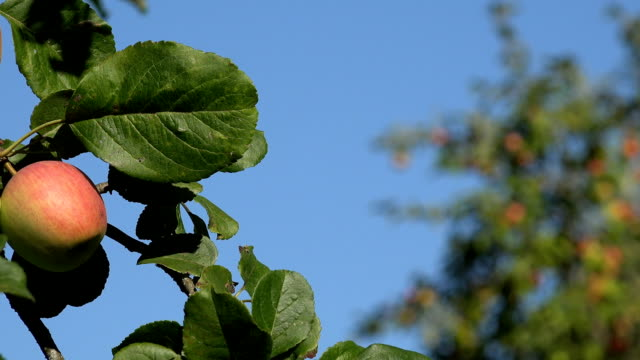 Apple tree twig with red fruit and leaves on blue sky background. Focus change. video