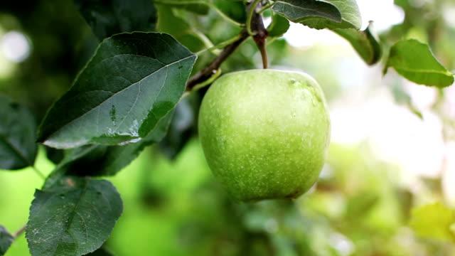 アップルツリー  - 熟していない点の映像素材/bロール