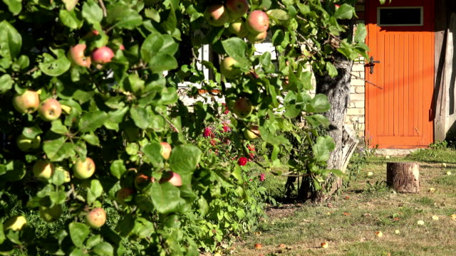 apple tree with fruit and home orange painted door summer. FullHD video