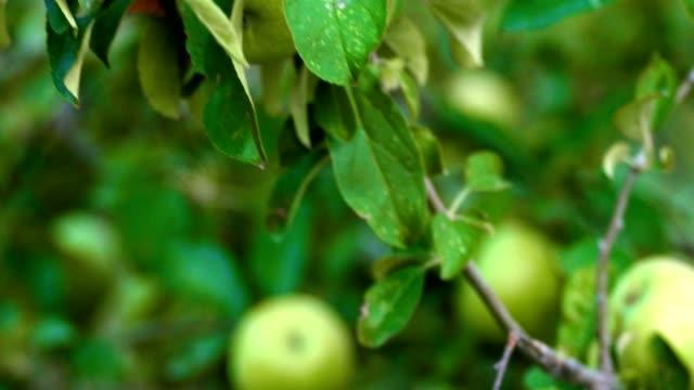 その枝の手持ち型のショットに緑の未熟なリンゴの果物を持つリンゴの木 - 熟していない点の映像素材/bロール