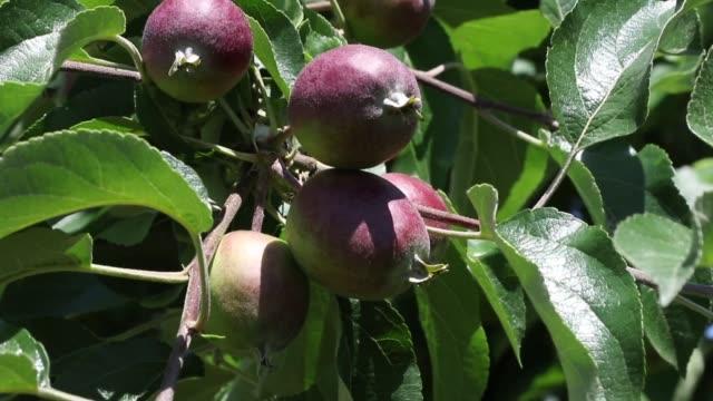 appelboom met onrijpe appels video
