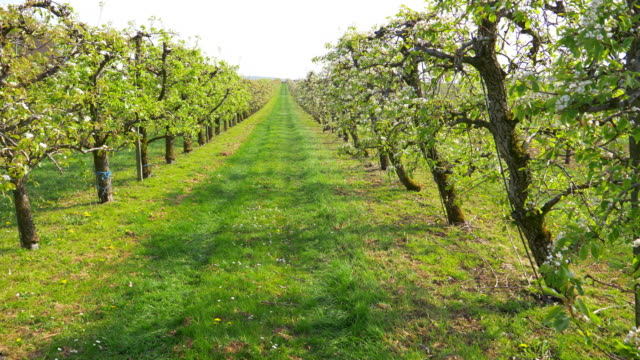 Apple Trees In Blossom video