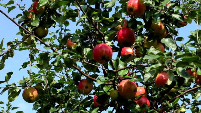 Apples, camera pan video