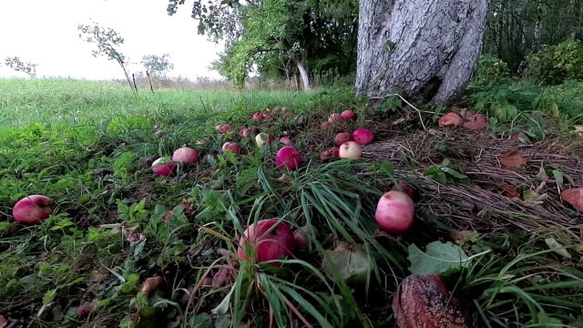 Apples falling from apple tree, slow motion Apples falling from old apple tree, slow motion apple fruit stock videos & royalty-free footage