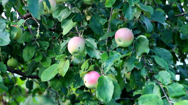 Apples on the branch video