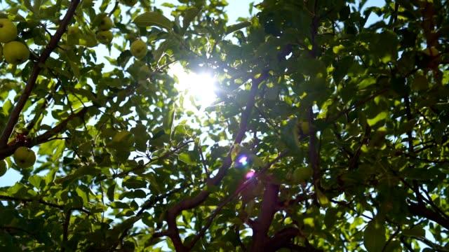äpplen på trädet - fruktträdgård bildbanksvideor och videomaterial från bakom kulisserna