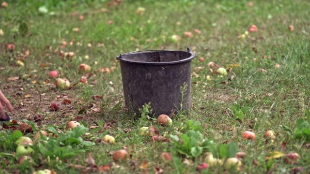 Pommes cueillant dans le panier - Vidéo