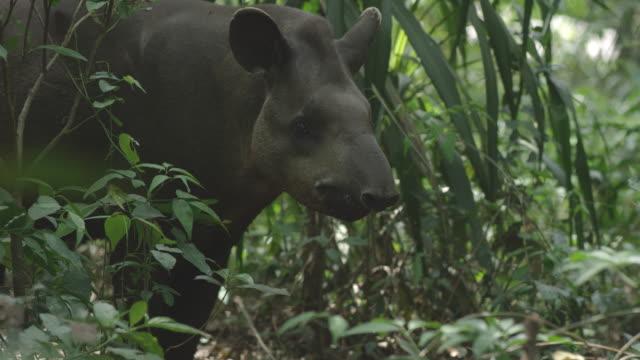 Uma abordagem de Anta no seu ecossistema natural na floresta tropical brasileira Atlântico. - vídeo