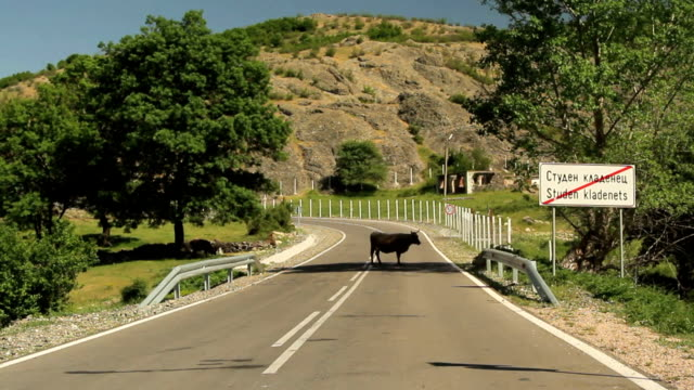 Approaching a cow standing in the middle of road video