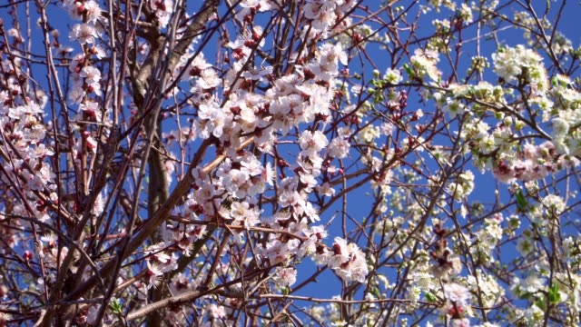 apricot and cherry fruit trees bloom very nicely - albicocco video stock e b–roll