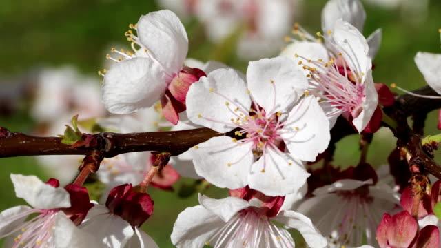 apricot blossom close-up - albicocco video stock e b–roll