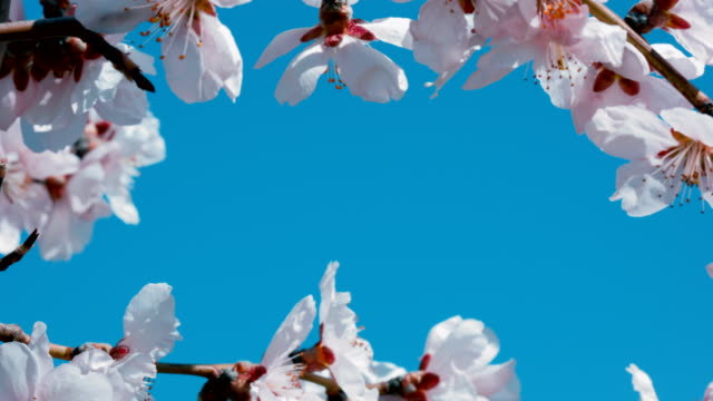 apricot blossoming branches on blue background. copyspace. - albicocca video stock e b–roll