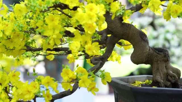 Apricot bonsai tree blooming with yellow flowering branches curving create unique beauty.