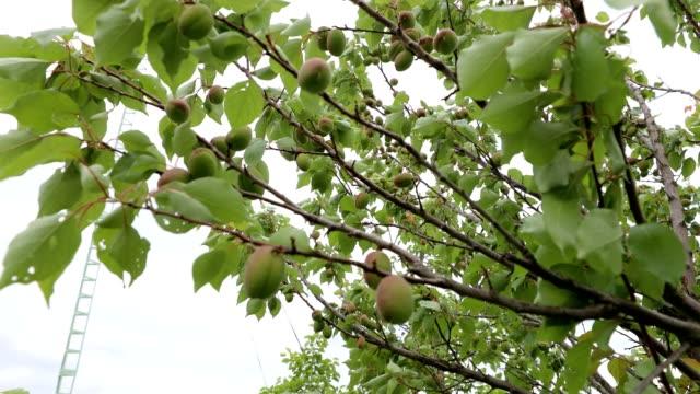 apricot branches on wind - albicocco video stock e b–roll