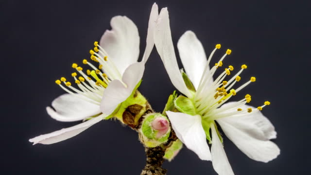 apricot flower blooming against black background in a time lapse movie. prunus armeniaca growing in moving time lapse. - pistillo video stock e b–roll