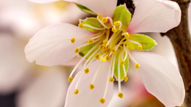apricot flower blooming against black background in a time lapse movie. prunus armeniaca growing in moving time lapse. - albicocco video stock e b–roll