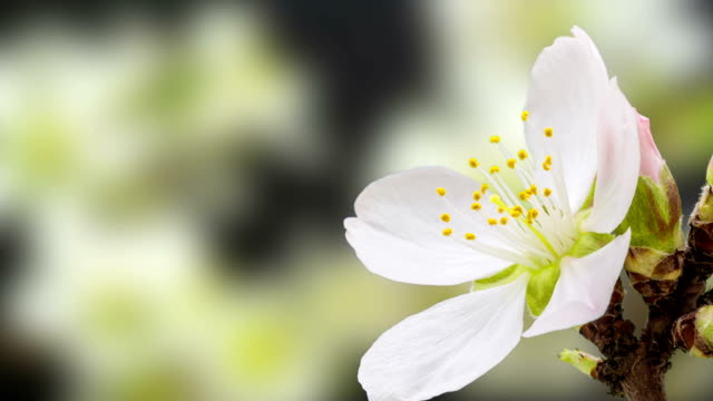 Apricot flower blooming against black background in a time lapse movie. Prunus armeniaca growing in moving time lapse. video