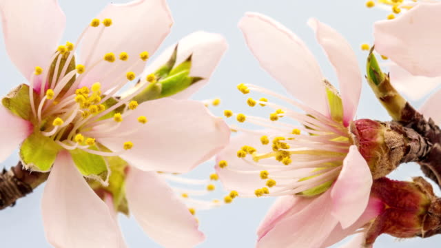 Apricot flower blooming against blue background in a time lapse movie. Prunus armeniaca growing in moving time lapse. video