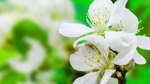 Apricot flower blooming against green background in a time lapse movie. Prunus armeniaca growing in moving time lapse. video