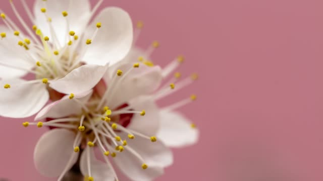 Apricot Flower blooming against pink background in a time lapse movie. Prunus armeniaca growing in vertical moving time-lapse. - Stock video