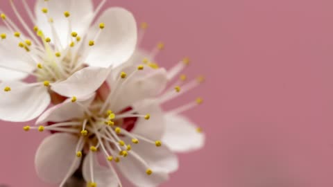 vídeos de stock e filmes b-roll de apricot flower blooming against pink background in a time lapse movie. prunus armeniaca growing in vertical moving time-lapse. - stock video - florescer