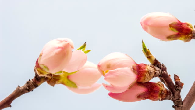Apricot flower blooming video