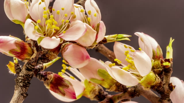 apricot flower growing timelapse - albicocco video stock e b–roll