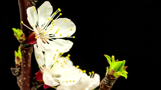 Apricot flower on black background video