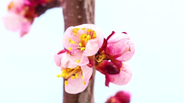 абрикос цветок - абрикос стоковые видео и кадры b-roll