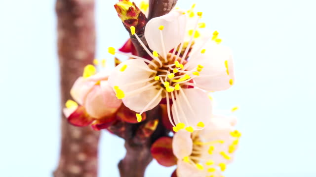 Apricot flower video
