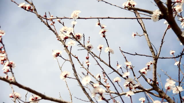 Apricot Flower. White blossoms Blooming in Spring video