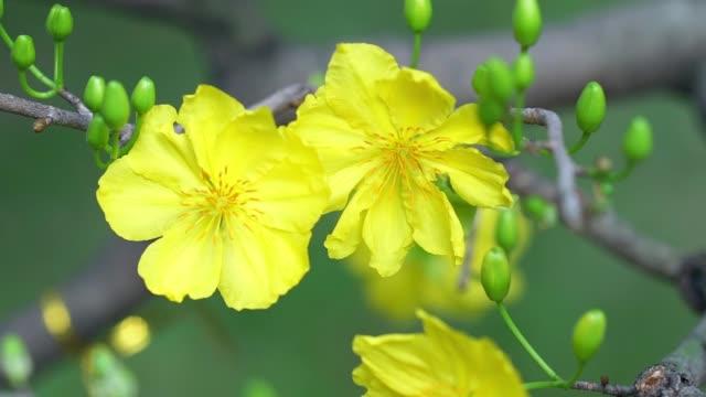 stockvideo's en b-roll-footage met abrikoos bloemen bloeien in nieuw maanjaar - fresh start yellow