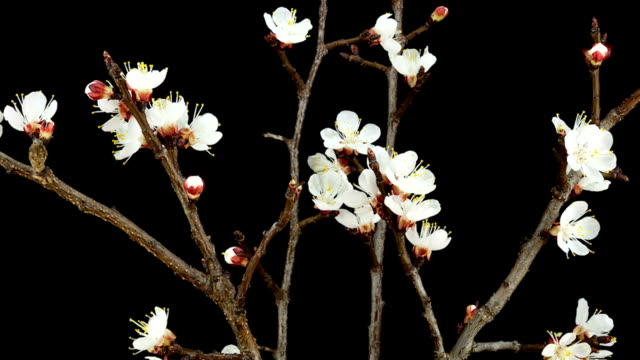 Apricot Flowers; TIME LAPSE video