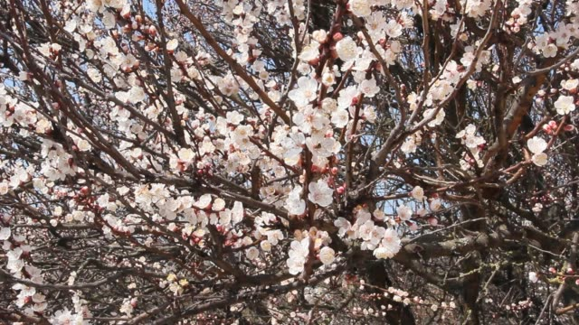 apricot tree blooms in spring - albicocco video stock e b–roll