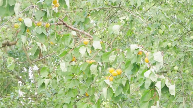 Apricot tree. Strong wind blows. Apricots on the tree