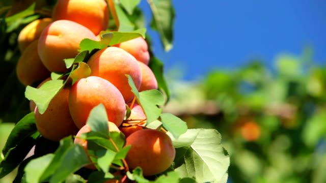 абрикосовое дерево - абрикос стоковые видео и кадры b-roll