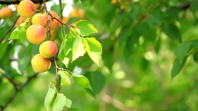 Apricot. video