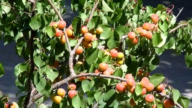 apricot - albicocco video stock e b–roll