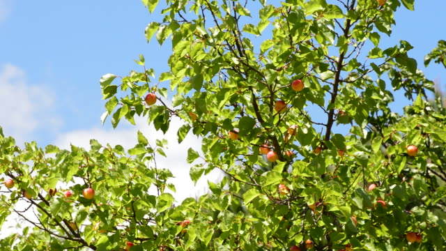 apricots fruit hanging at branch of tree a sunny day - albicocco video stock e b–roll