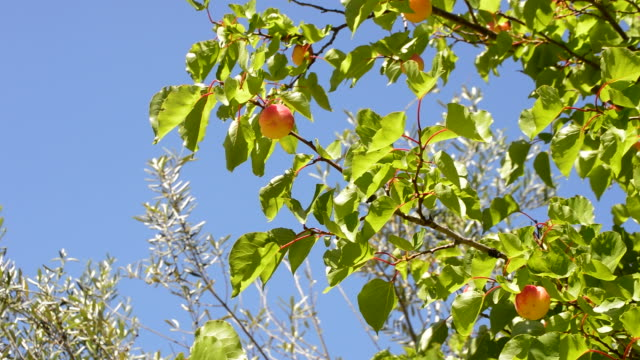 apricots fruit hanging at branch of tree in a agricultural plantation a sunny day - albicocco video stock e b–roll