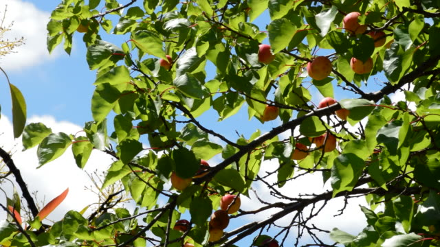 apricots fruit hanging at branch of tree - albicocco video stock e b–roll