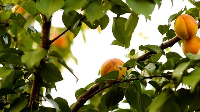 albicocche su un albero filiale. - albicocco video stock e b–roll