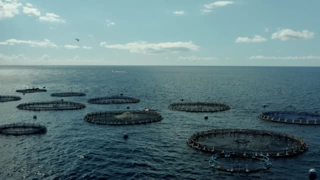 Aquaculture Cage culture of freshwater fish Cage culture is an aquaculture production system where fish are held in floating net pens shrimp seafood stock videos & royalty-free footage