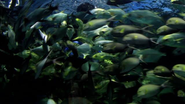 Aquanaut feeding fish in aquarium. video
