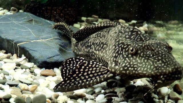 Aquarium Fish Catfish Stock Video More Clips Of Algae 996172390