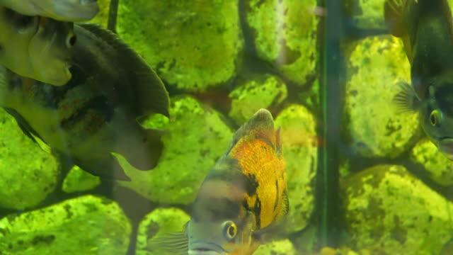 akvaryum balık. balık oscar'ı grup astronotus ocellatus - i̇htiyoloji stok videoları ve detay görüntü çekimi