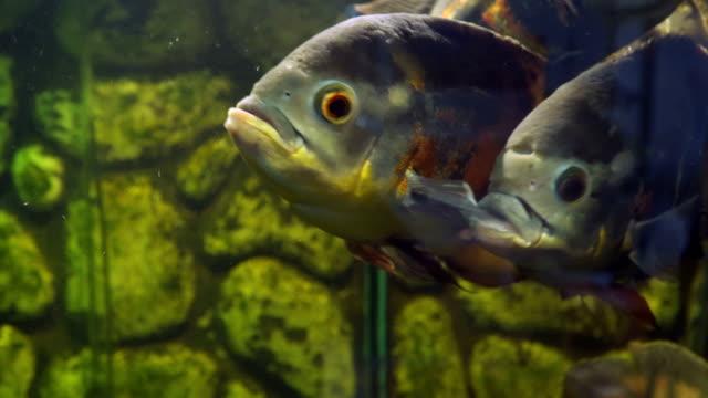 akvaryum balık. oscar'ı astronotus ocellatus - i̇htiyoloji stok videoları ve detay görüntü çekimi