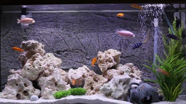 akvarium med ciklider fisk - akvarium byggnad för djur i fångenskap bildbanksvideor och videomaterial från bakom kulisserna