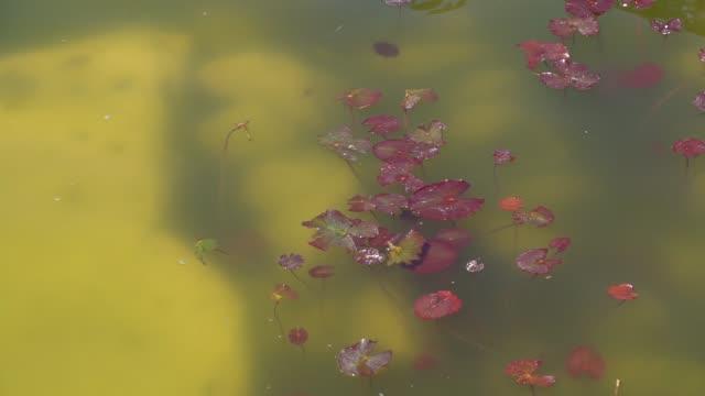 stockvideo's en b-roll-footage met waterplant in de vijver, oppervlakte van het meer - plantdeel