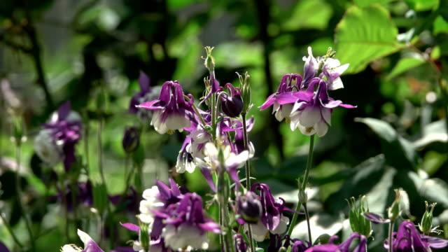 Aquilegia flowers blue video